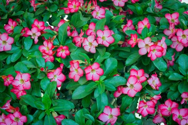 Piękne świeże czerwone kwiaty azalii