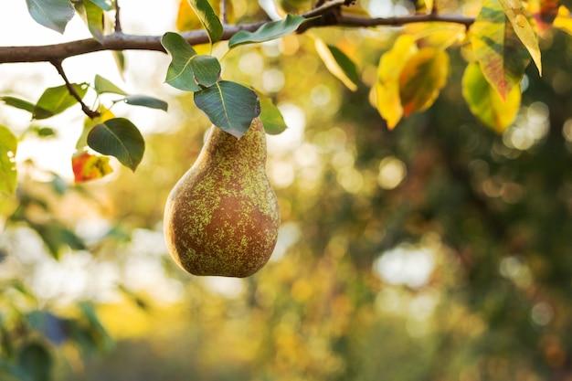 Piękne, świeże, dojrzałe gruszki wiszą na gałęzi w sadzie na jedzenie lub sok. eko, produkty rolne. jesienne żniwa o zachodzie słońca.