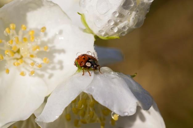 Piękne świeże kwiaty jaśminu na wiosnę, białe pachnące kwiaty jaśminu pokryte kroplami wody po przeszłych deszczach, krzew jaśminu w zbliżeniu natury