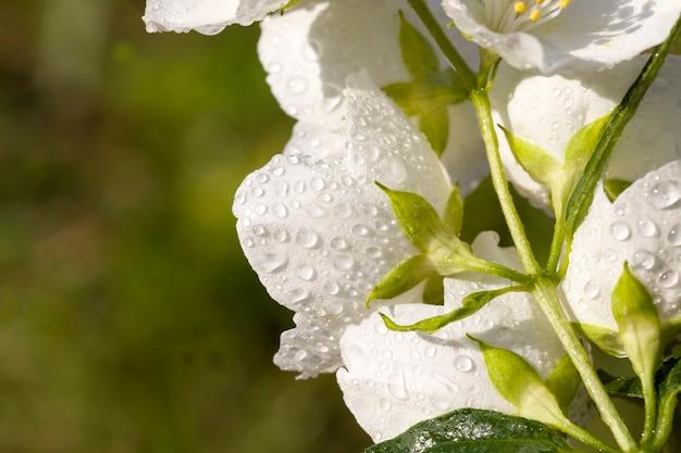 Piękne, świeże kwiaty jaśminu w wiosennych białych pachnących kwiatach jaśminu
