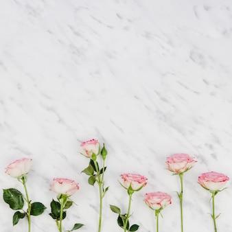 Piękne świeże róże z miejsca kopiowania
