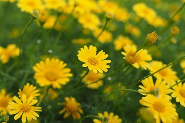 Piękne świeże żółte cynie kwitną w ogródzie