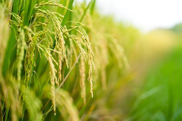 Piękne tło pola ryżowego dojrzałe ryżowe chiangmai tajlandia.