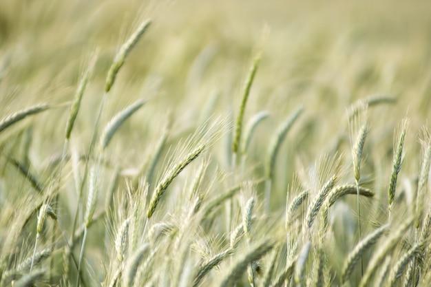 Piękne tło ruchu niewyraźne pole pszenicy w letnim wietrze