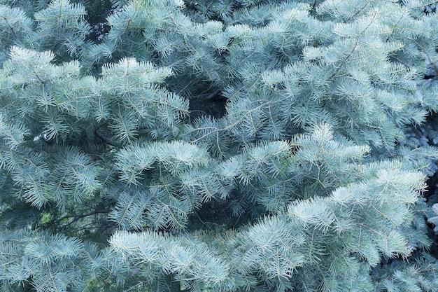 Piękne tło z gałęzi iglastych