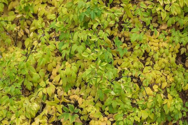 Piękne tło żółte i zielone liście jesienią.