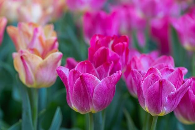 Piękne tulipany kwitnące w ogrodzie w wiosenny dzień