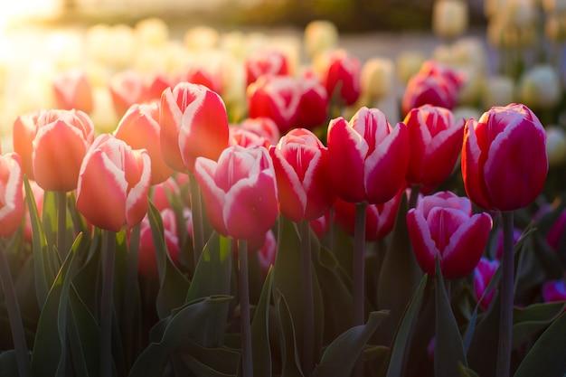 Piękne tulipany na tle porannego światła słonecznego.