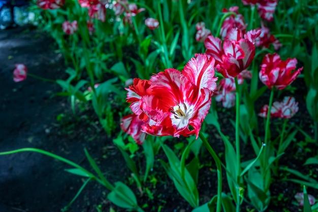 Piękne tulipany o niezwykłych kolorach na festiwalu tulipanów w sankt petersburgu w rosji.