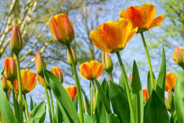 Piękne tulipany pola w holandii na wiosnę pod zachodem słońca niebo