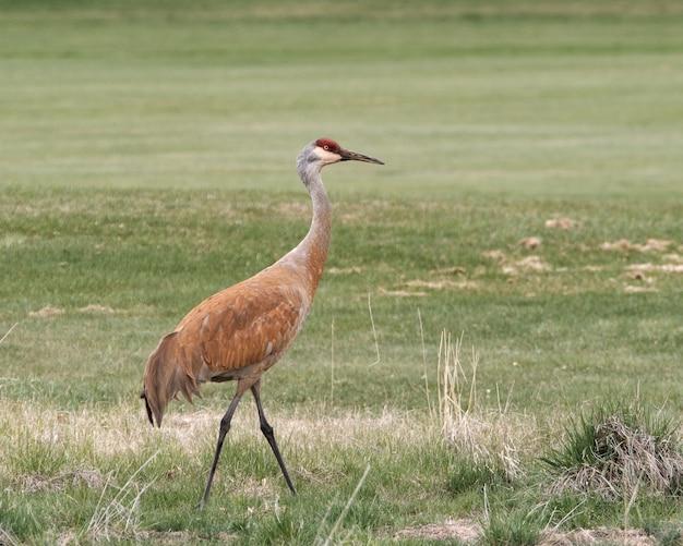 Piękne ujęcie brązowego żurawia kanadyjskiego w polu w ciągu dnia