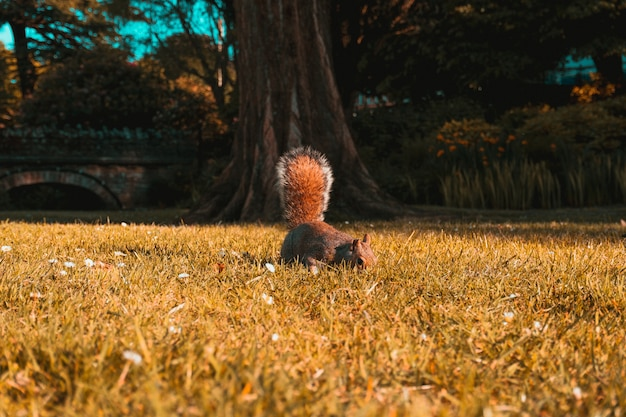 Piękne ujęcie brązowej wiewiórki na polach