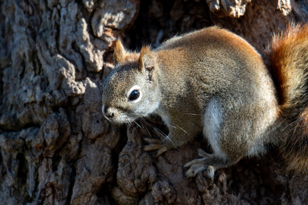 Piękne ujęcie brązowej wiewiórki w lesie