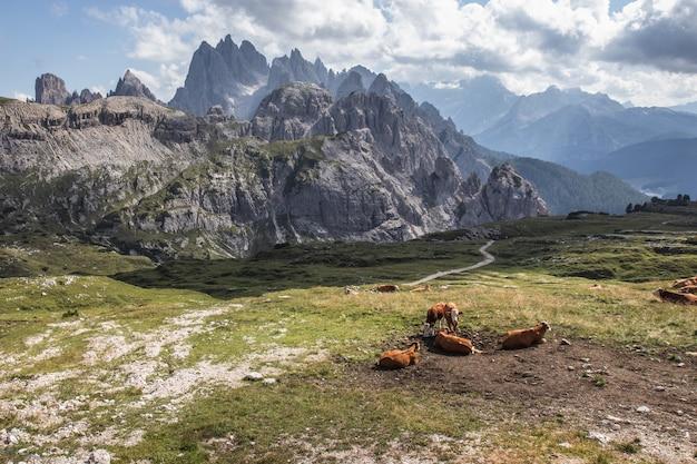 Piękne ujęcie brązowych krów w dolinie w parku przyrody three peaks w toblach we włoszech