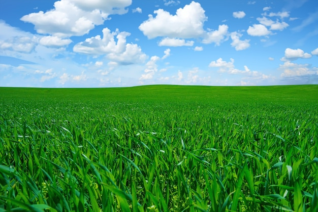 Piękne ujęcie bujnej świeżej trawy pod jasnym pochmurnym niebem