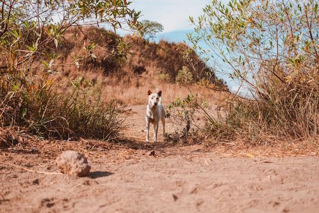 Piękne ujęcie dingo patrzącego w stronę kamery w terenie