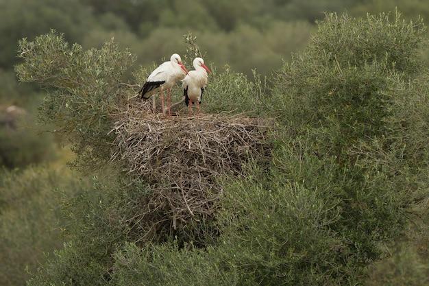 Piękne ujęcie dwóch bocianów białych stojących z gracją w gnieździe na szczycie wielkiego krzaka