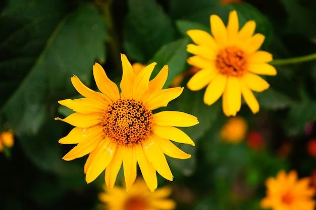 Piękne ujęcie dwóch jasnożółtych kwiatów z długimi i dużymi płatkami otoczonymi liśćmi