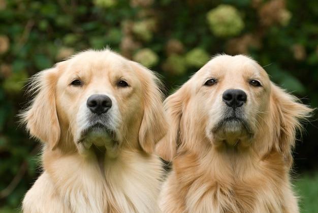 Piękne ujęcie dwóch młodych golden retrieverów
