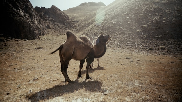 Piękne ujęcie dwóch wielbłądów na pustyni w słoneczny dzień