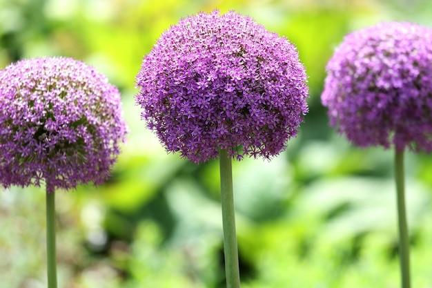 Piękne ujęcie fioletowych kwiatów werbeny w królewskich ogrodach botanicznych latem