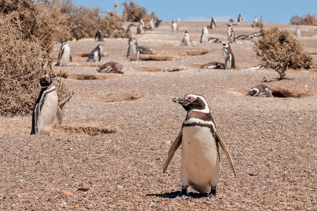 Piękne ujęcie grupy pingwinów afrykańskich