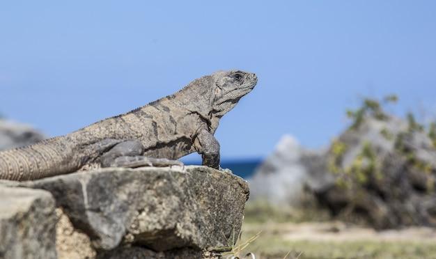 Piękne ujęcie iguany siedzącej na kamieniu