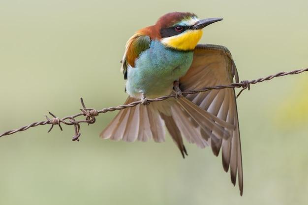 Piękne ujęcie kolorowe żołna siedzący na drucie