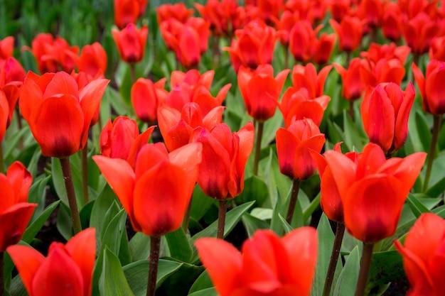 Piękne ujęcie kolorowych tulipanów w polu w słoneczny dzień