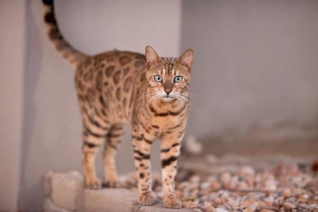 Piękne ujęcie kota bengalskiego z ciekawością wpatrującego się w kamerę z zamazanym tłem