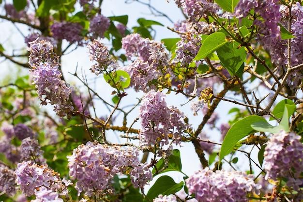 Piękne ujęcie kwiatów bzu na tle błękitnego nieba