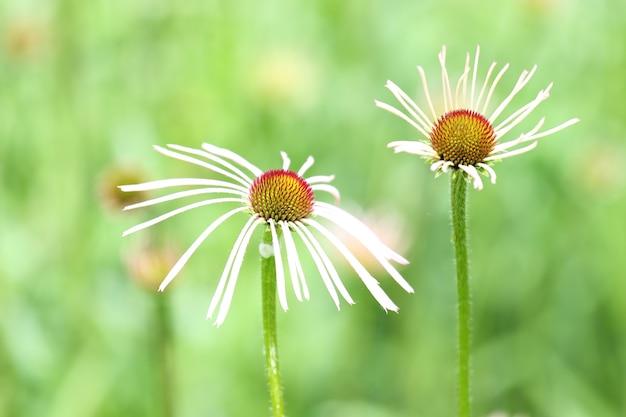 Piękne ujęcie kwiatów stokrotki w królewskich ogrodach botanicznych latem