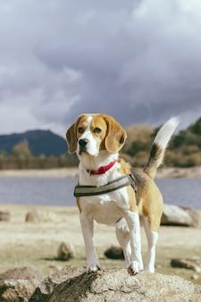 Piękne ujęcie ładny pies rasy beagle