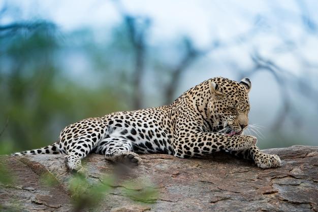 Piękne ujęcie lamparta afrykańskiego odpoczywającego na skale z rozmytym tłem