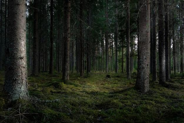 Piękne ujęcie lasu z wysokimi zielonymi drzewami