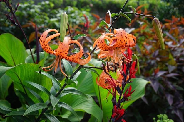 Piękne ujęcie lilii tygrysich w lesie otoczonym różnymi rodzajami roślin