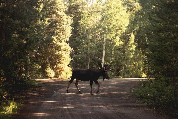 Piękne ujęcie łosia lub łosia na drodze w pobliżu lasu