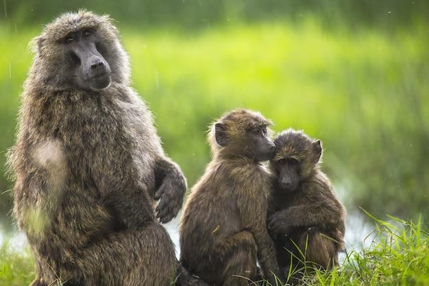 Piękne ujęcie małp na trawie w nakuru safari w kenii