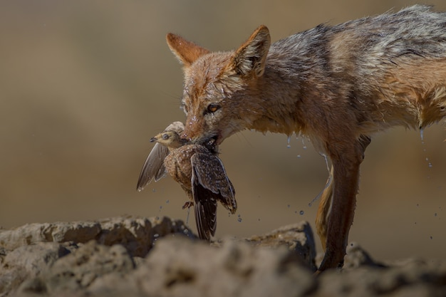 Piękne ujęcie mokrego lisa piaskowego trzymającego w pysku martwego ptaka