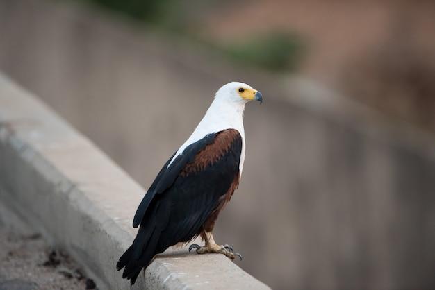 Piękne ujęcie orła