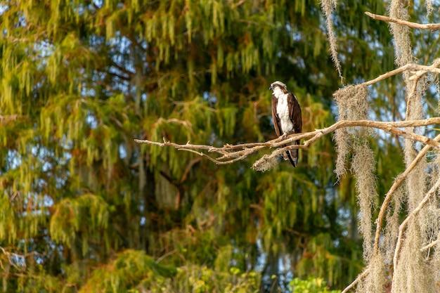 Piękne ujęcie osprey egret siedzącej na gałęzi w rezerwacie circle-b-bar w pobliżu lakeland na florydzie