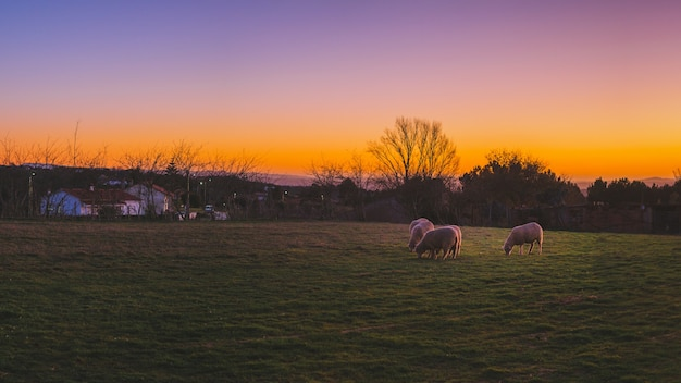 Piękne ujęcie owiec wypasanych na zielonych polach podczas zachodu słońca