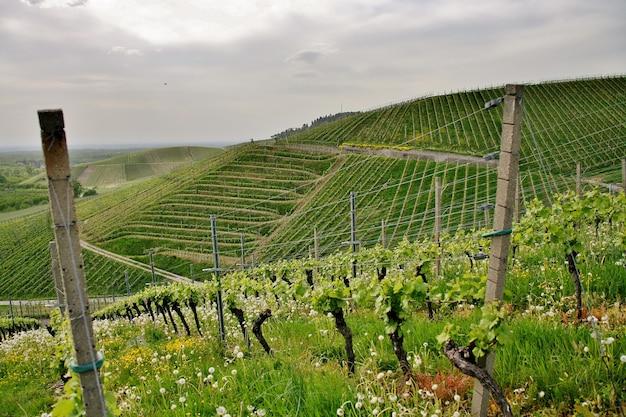 Piękne ujęcie pagórkowatych zielonych winnic pod zachmurzonym niebem w miejscowości kappelrodeck