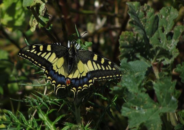 Piękne ujęcie paziowatych o nazwie papilio machaon na zielonych roślinach na malcie