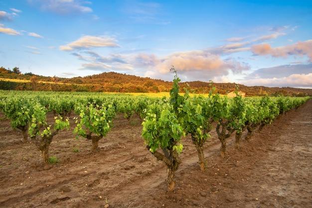 Piękne ujęcie plantacji winnic pod błękitnym niebem i fioletowymi chmurami