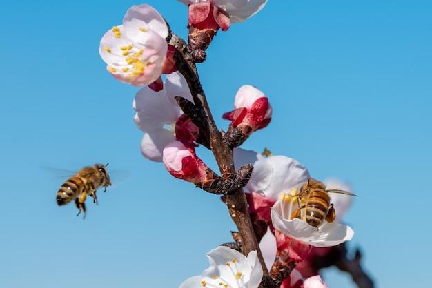 Piękne ujęcie pszczół zbierających nektary z kwiatu moreli na drzewie z jasnym błękitnym niebem