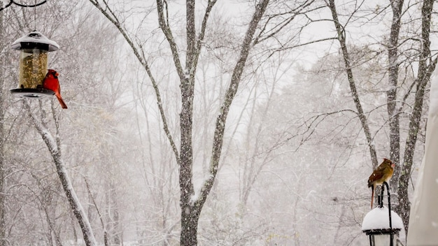 Piękne ujęcie ptaków kardynała i kardynała północnego w zimowy dzień