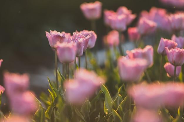 Piękne ujęcie różowego pola tulipanów - idealne na naturalną tapetę lub ścianę