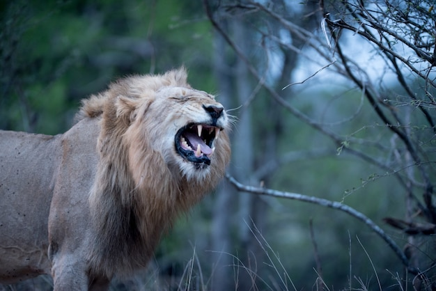 Piękne ujęcie ryczącego lwa płci męskiej z niewyraźnym tłem