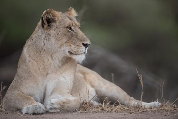 Piękne ujęcie samicy lwa spoczywającej na ziemi